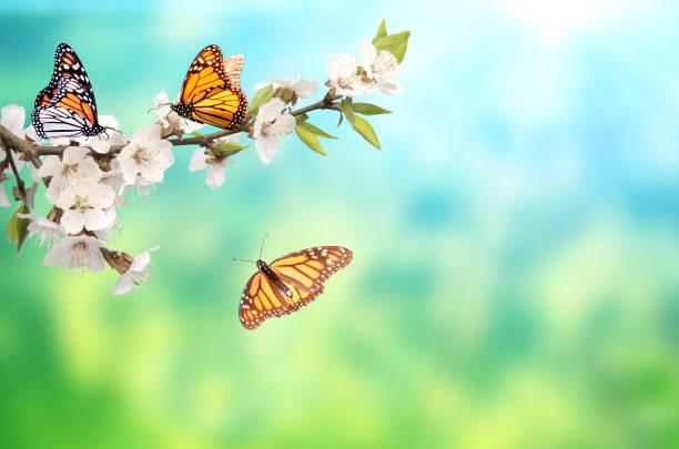 Flowers of cherrytree and monarch butterflies picture id988664024?b=1&k=6&m=988664024&s=612x612&w=0&h=o4kqopurkls3rqx9pnvt69i20bpj73 5qdqjd6tagbc=