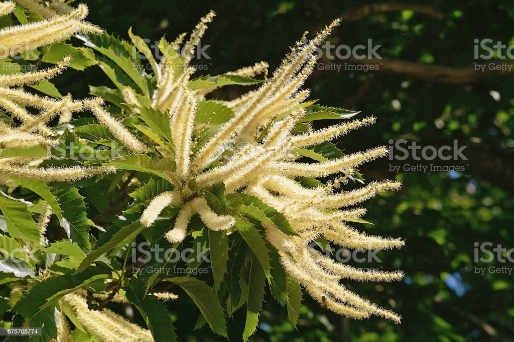 flowers of chestnut royalty-free stock photo