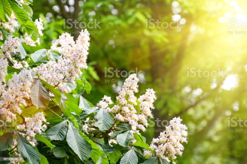 Flowers of chestnut trees in spring in the park stock photo