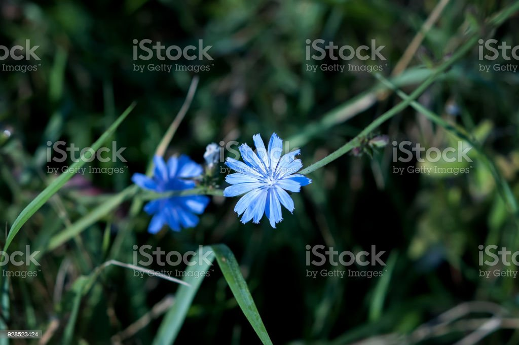 Flowers of chicory in grass stock photo