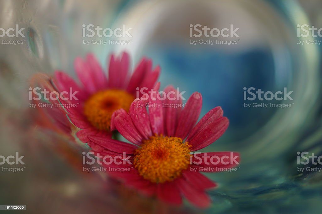 Flowers of chrysanthemums on glass. macro stock photo