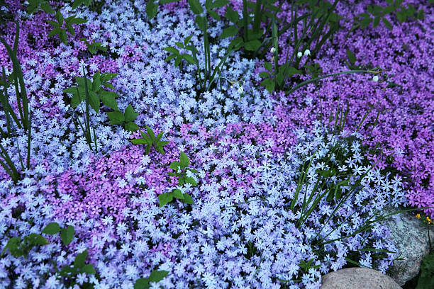 Flowers of creeping Phlox, carpeted, styloid, ground cover, blooming, Цветы stock photo