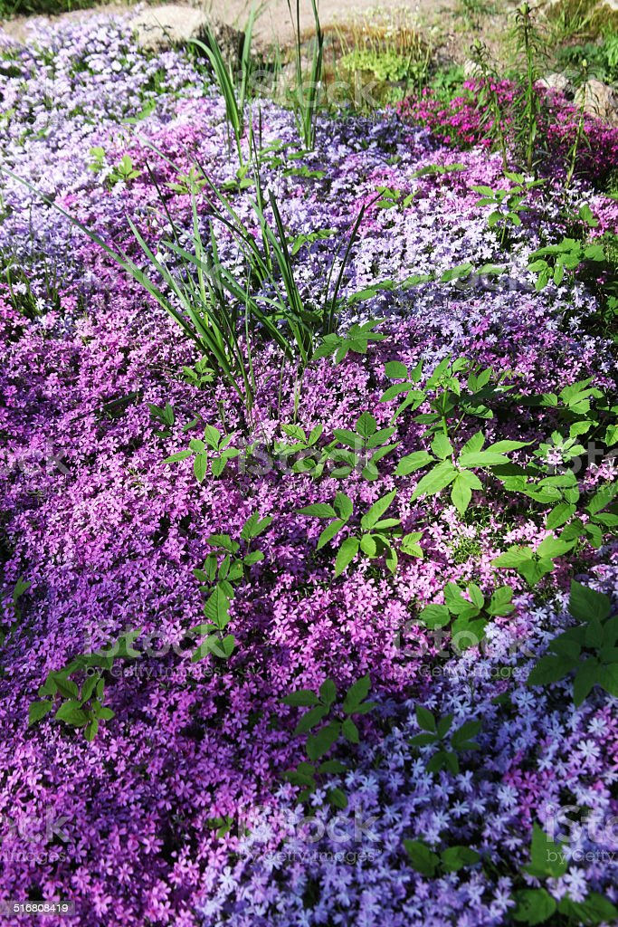 Flowers of creeping Phlox, carpeted, styloid, ground cover,  Цветы флокса stock photo