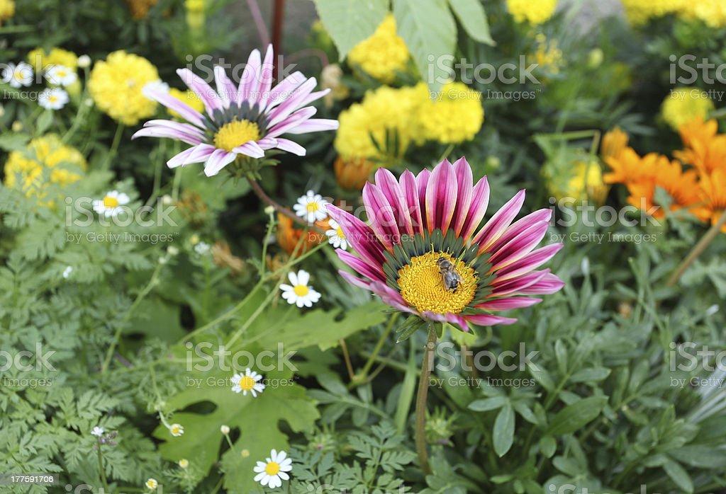 Flowers of daisy family. royalty-free stock photo
