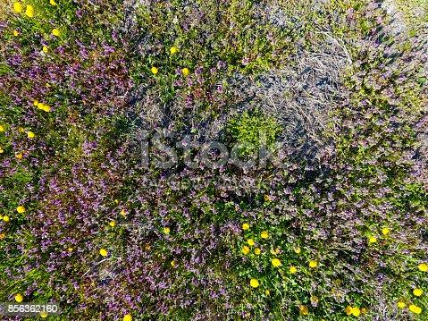 istock Flowers of dandelion. Lamium purpureum blooming in the garden. 856362160