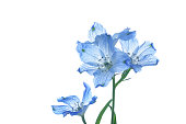 flowers of delphinium on a white background