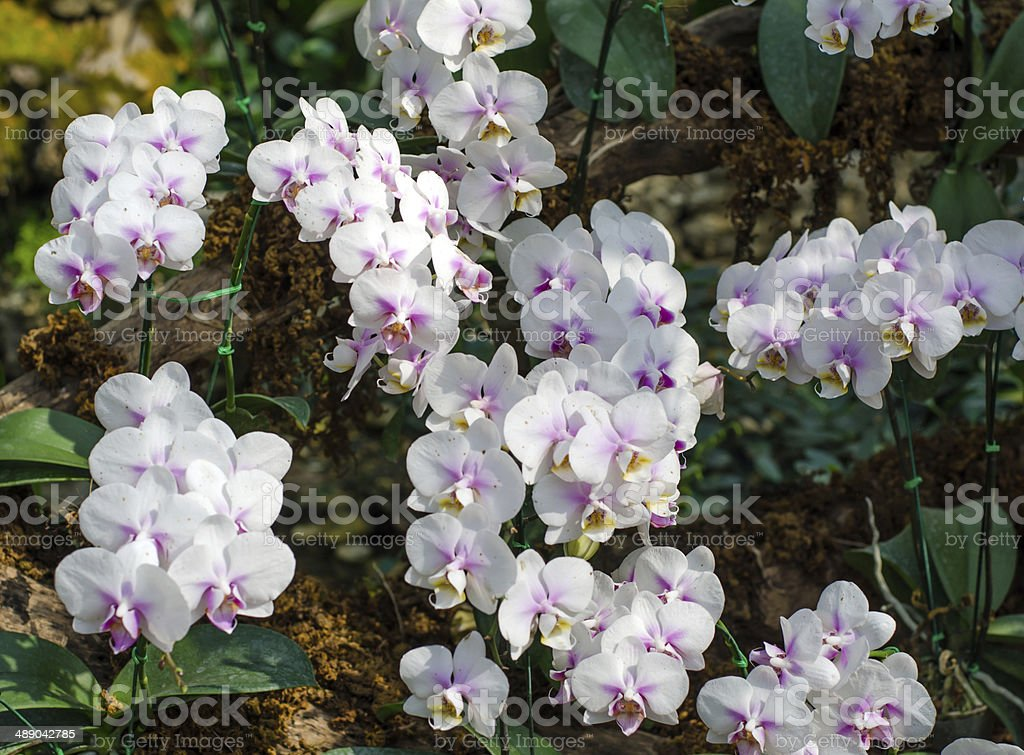 Flowers of Dendrobium orchid in tropical garden royalty-free stock photo
