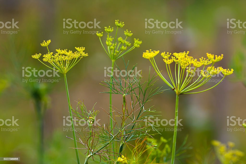 flowers of dill (selective focus used) stock photo