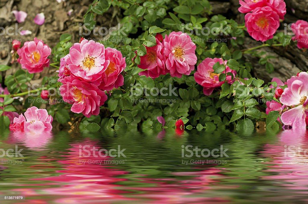 Flowers of dog rose stock photo
