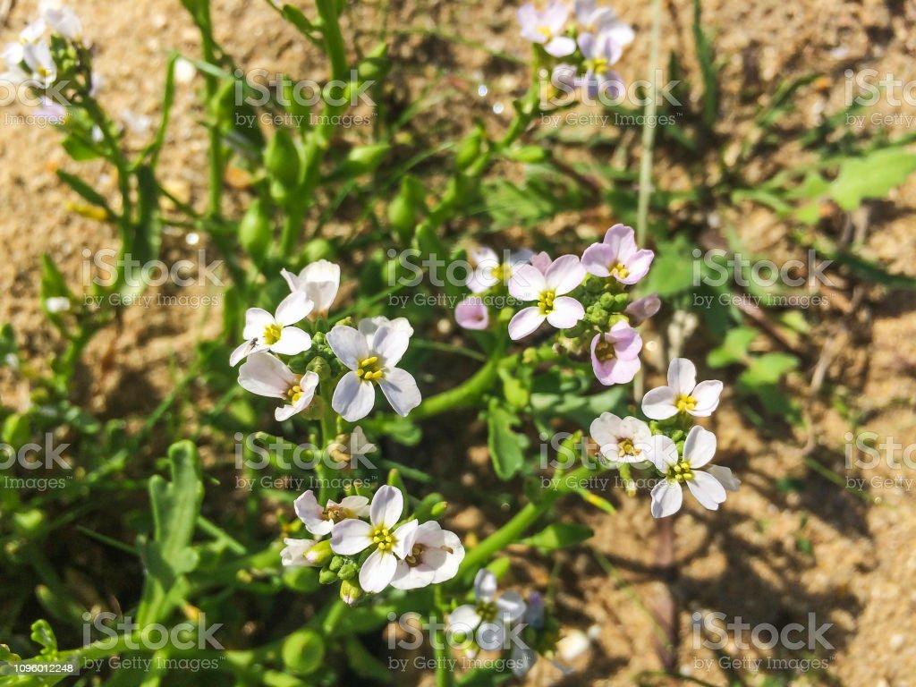 Flores de flor de searocket Europea - foto de stock