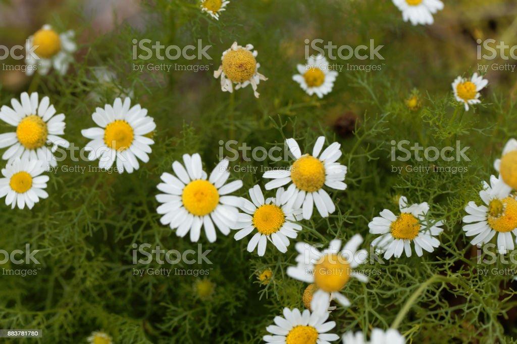 Flowers of false mayweed (Tripleurospermum maritimum) stock photo