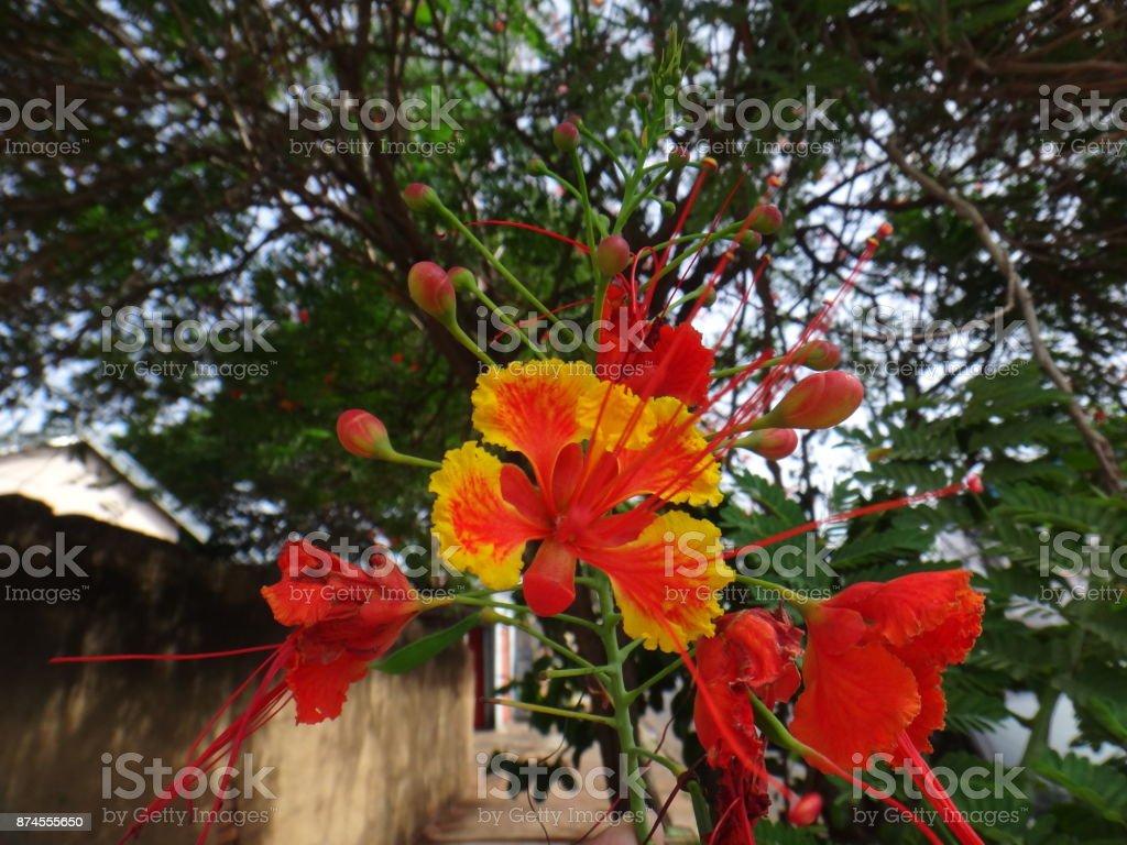 Flowers of flamboyant tree stock photo