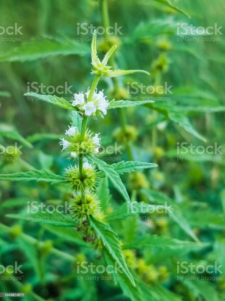 Flores de gipsywort, licipio o agua marrubio planta - foto de stock