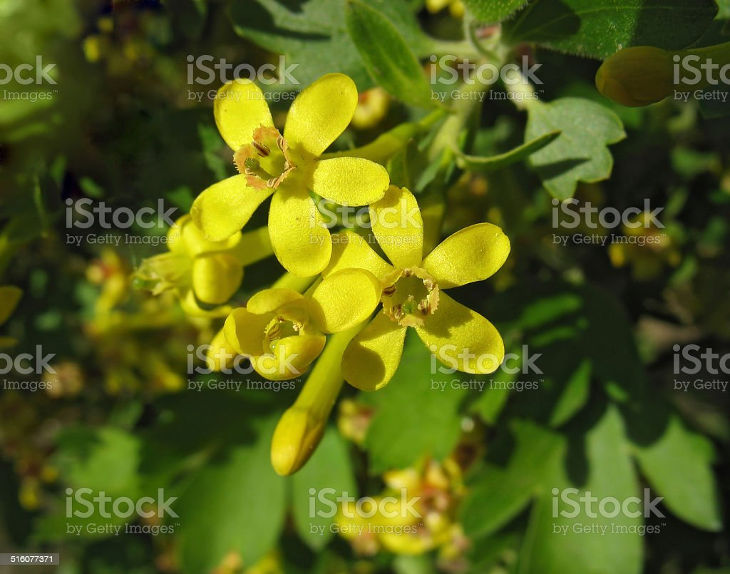 Flowers Of Golden Currant Stock Photo More Pictures Of Backgrounds