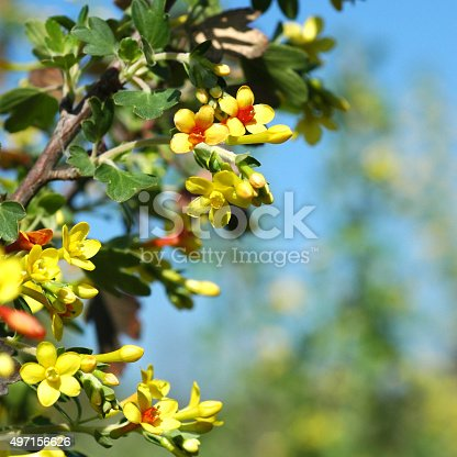 istock flowers of golden currant, Ribes aureum 497156626