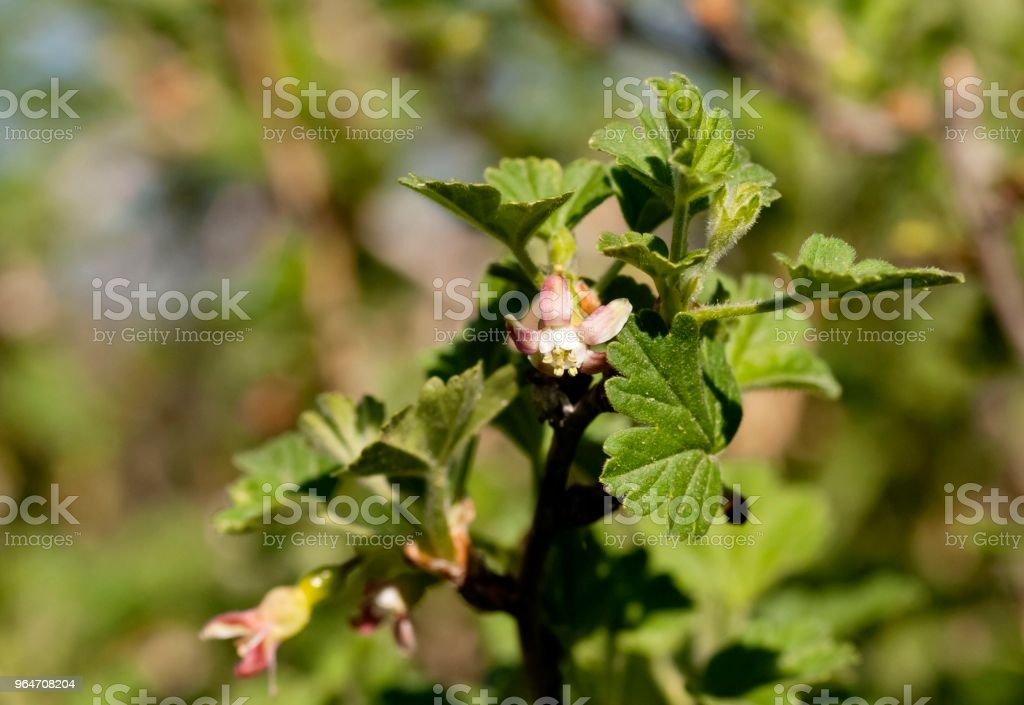 flowers of gooseberries close-up, visible stamens and pistils royalty-free stock photo