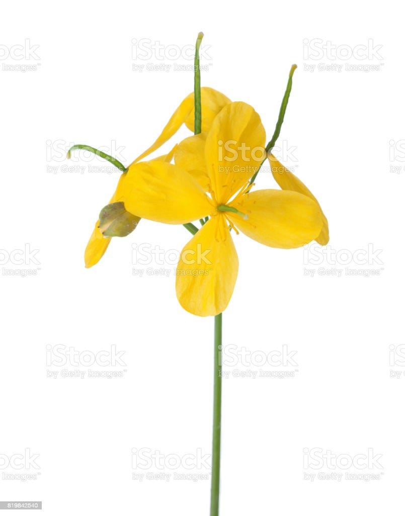 Flowers of Greater celandine (Chelidonium) isolated on white background. stock photo