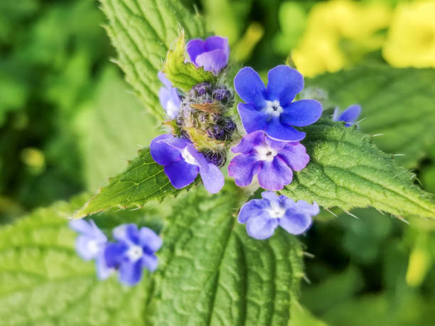 Flowers of green alkanet or evergreen bugloss stock photo