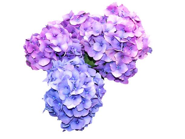 bloemen van hortensia geïsoleerd op witte achtergrond - hortensia stockfoto's en -beelden