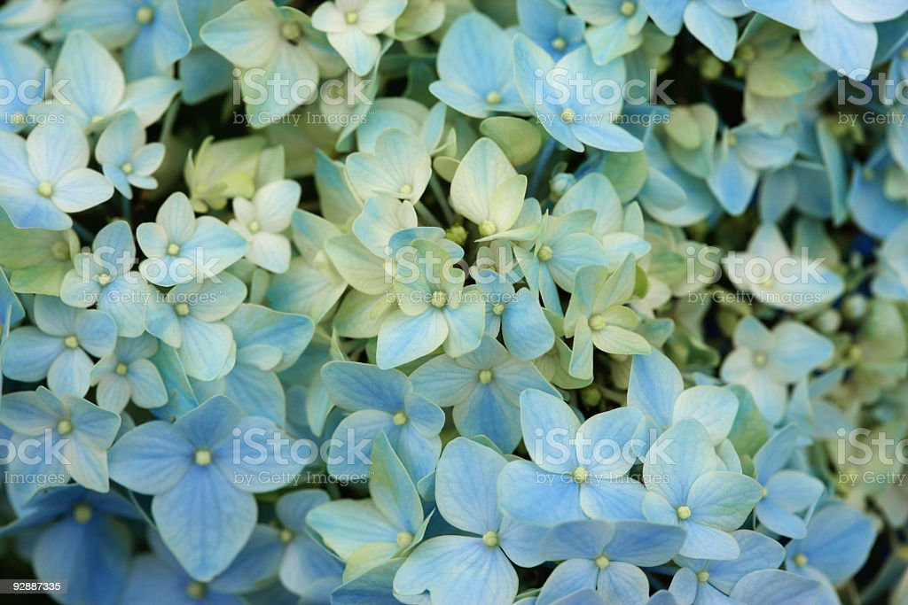 Flowers of hydrangea royalty-free stock photo