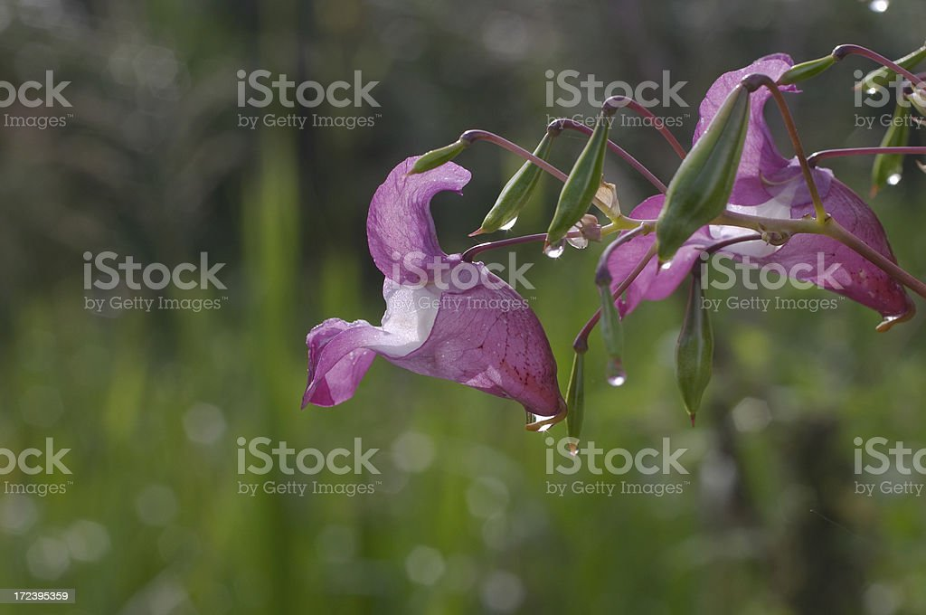 Indian balsam by the waterside close up stock photo