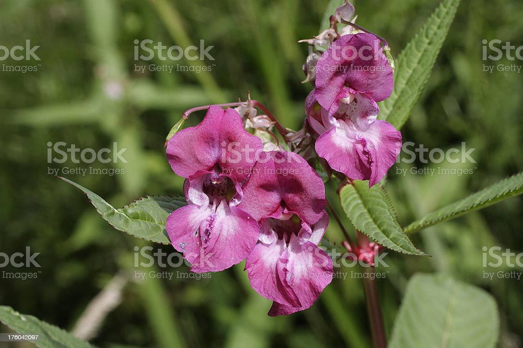 Three red flowers of Indian balsam Impatiens glandulifera close up stock photo