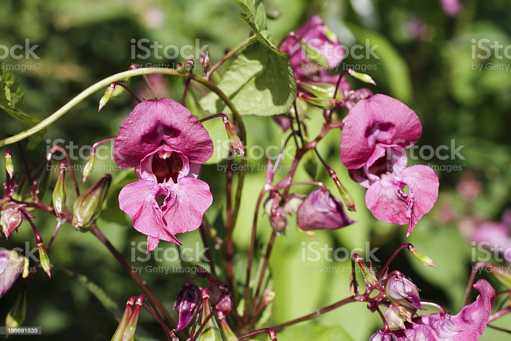 Red purple flowers of Indian balsam Impatiens glandulifera close up stock photo