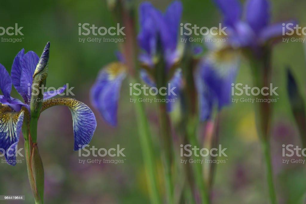 Flowers of Iris Sibirica, Siberian iris, up close - Royalty-free Beauty In Nature Stock Photo