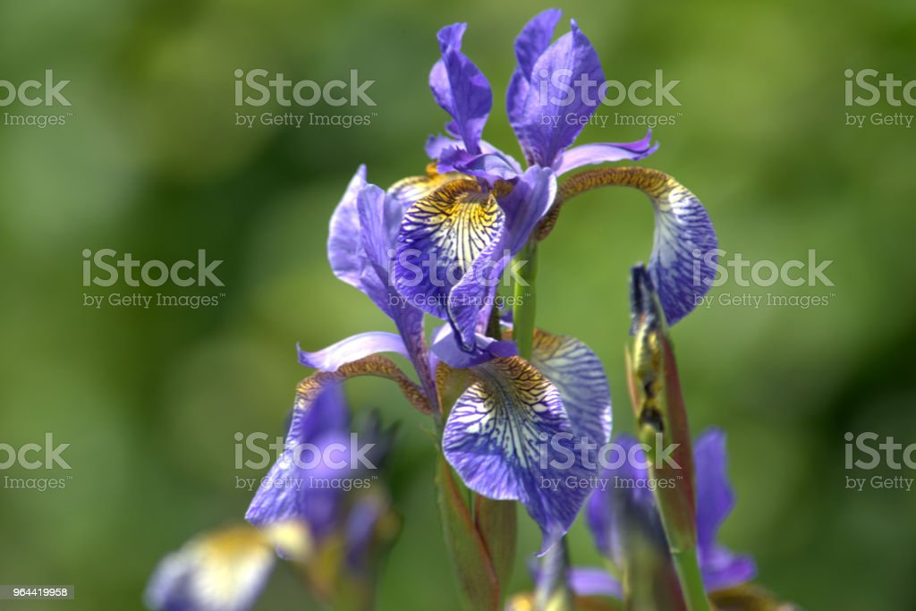 Bloemen van Iris Sibirica, Siberische iris, van dichtbij - Royalty-free Bloem - Plant Stockfoto