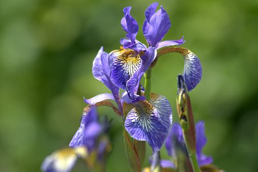 Foto de Flores De Iris Sibirica Íris Da Sibéria Perto e mais fotos de stock de Beleza natural - Natureza