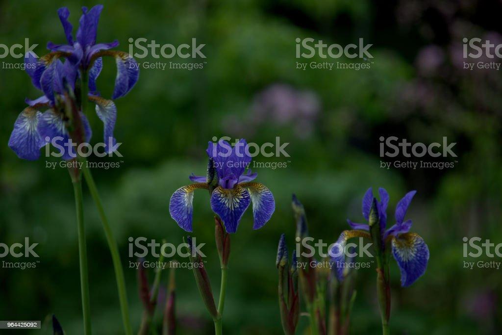 Flores de Iris Sibirica, íris da Sibéria, perto - Foto de stock de Beleza natural - Natureza royalty-free