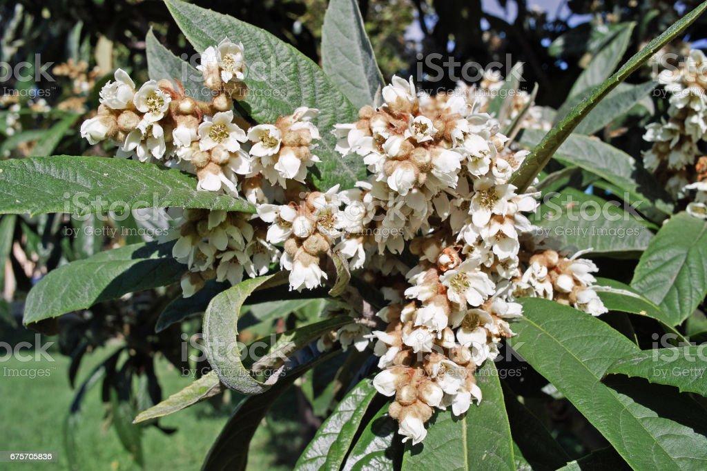 flowers of Japanese loquat tree royalty-free stock photo