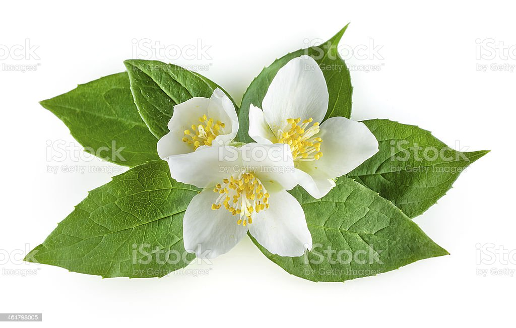Flowers of jasmine with leaves on white background stock photo