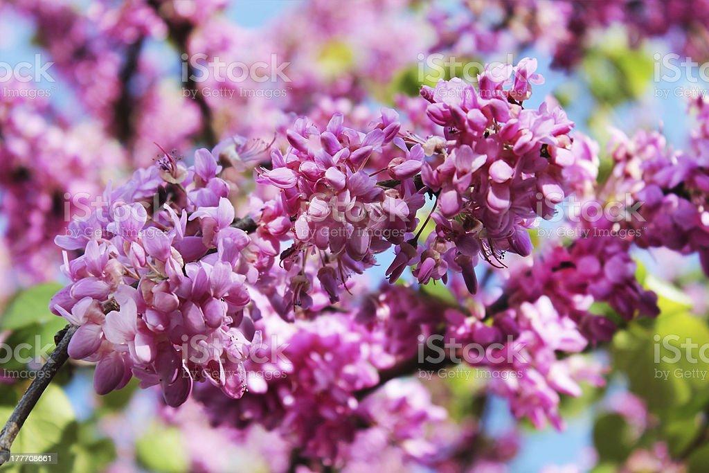 flowers of judas tree stock photo