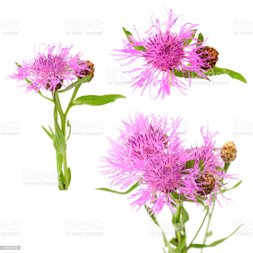 flowers of knapweed stock photo