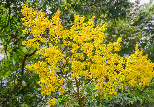Flowers of Koelreuteria henryi  in park Taiwanese Koelreuteria henryi Tree in the  park caenorhabditis elegans stock pictures, royalty-free photos & images