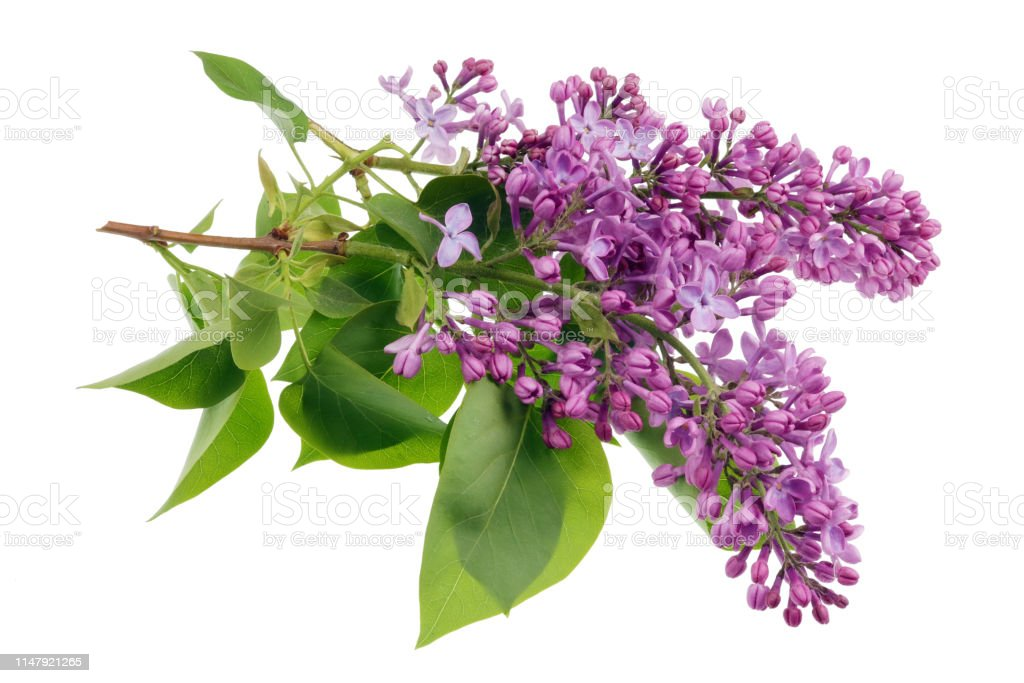 Flowers Of Light Purple Real Lilac On Small Branches With Leaves Isolated Stock Photo Download Image Now Istock