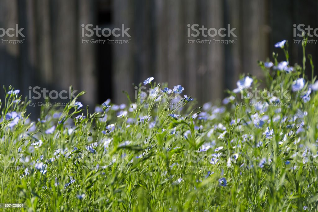 Flowers of linum on a wooden background stock photo