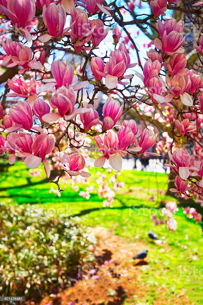 Flowers of Magnolia Tree Blossom in City Hall Park stock photo