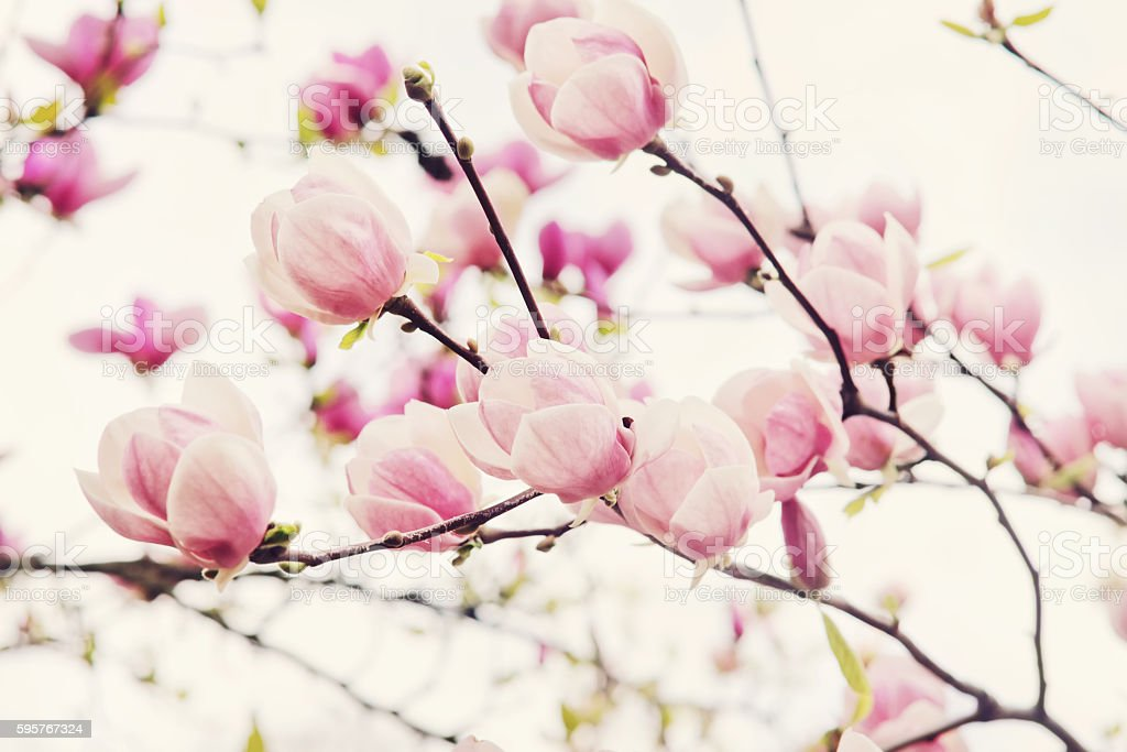 Flowers of magnolia tree in springtime stock photo