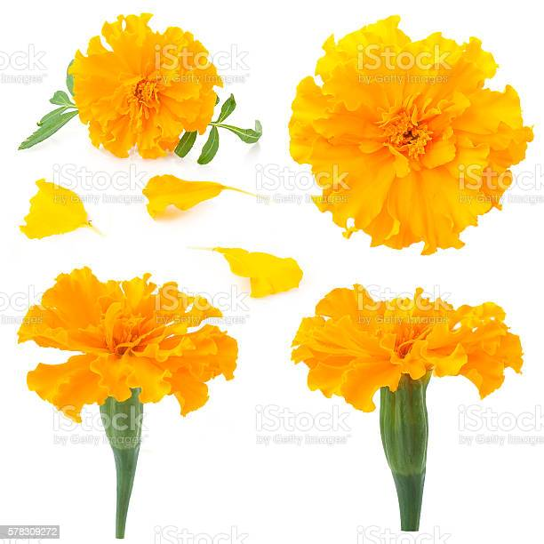 Flowers of marigold on a white background picture id578309272?b=1&k=6&m=578309272&s=612x612&h=deqeyfe8qsbvikcqrjfq0w7txpnlckqpy5azsveoelw=
