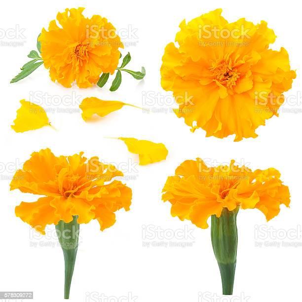 Flowers of marigold on a white background picture id578309272?b=1&k=6&m=578309272&s=612x612&h=deqeyfe8qsbvikcqrjfq0w7txpnlckqpy5azsveoelw=
