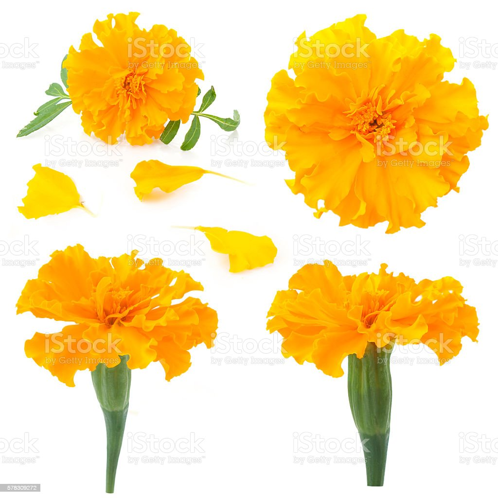 flowers of marigold on a white background stock photo