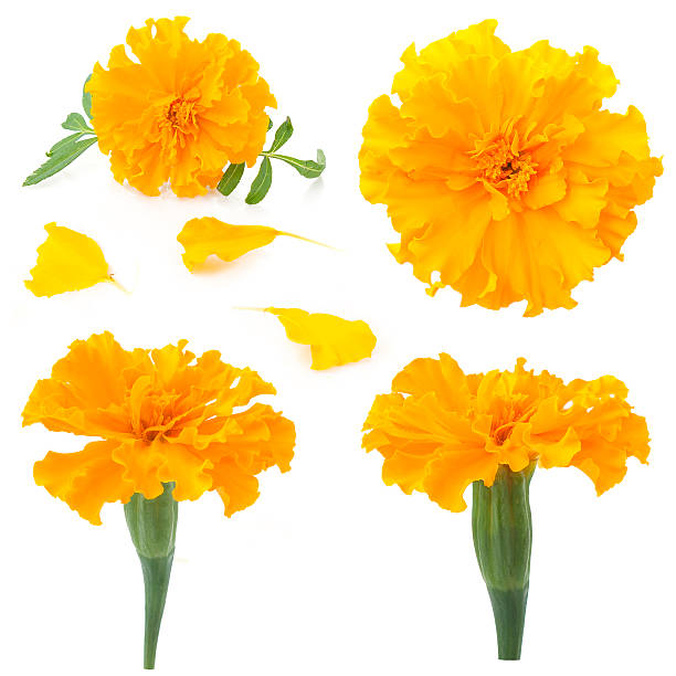 flowers of marigold on a white background - indische blumen stock-fotos und bilder