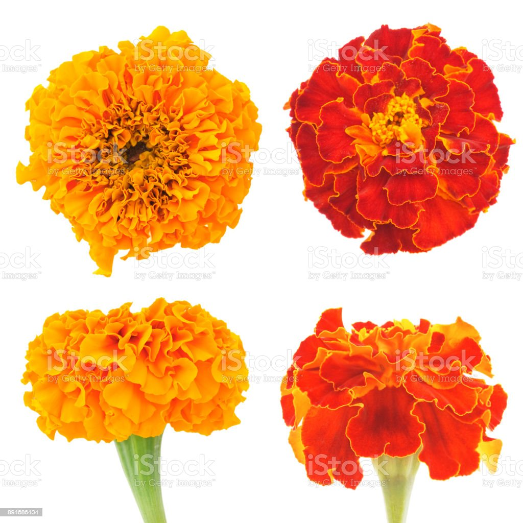 flowers of marigold stock photo
