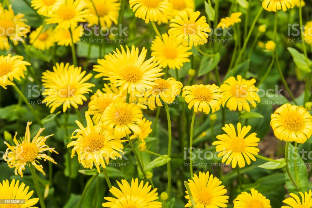 Flowers of medicinal elecampane close up stock photo