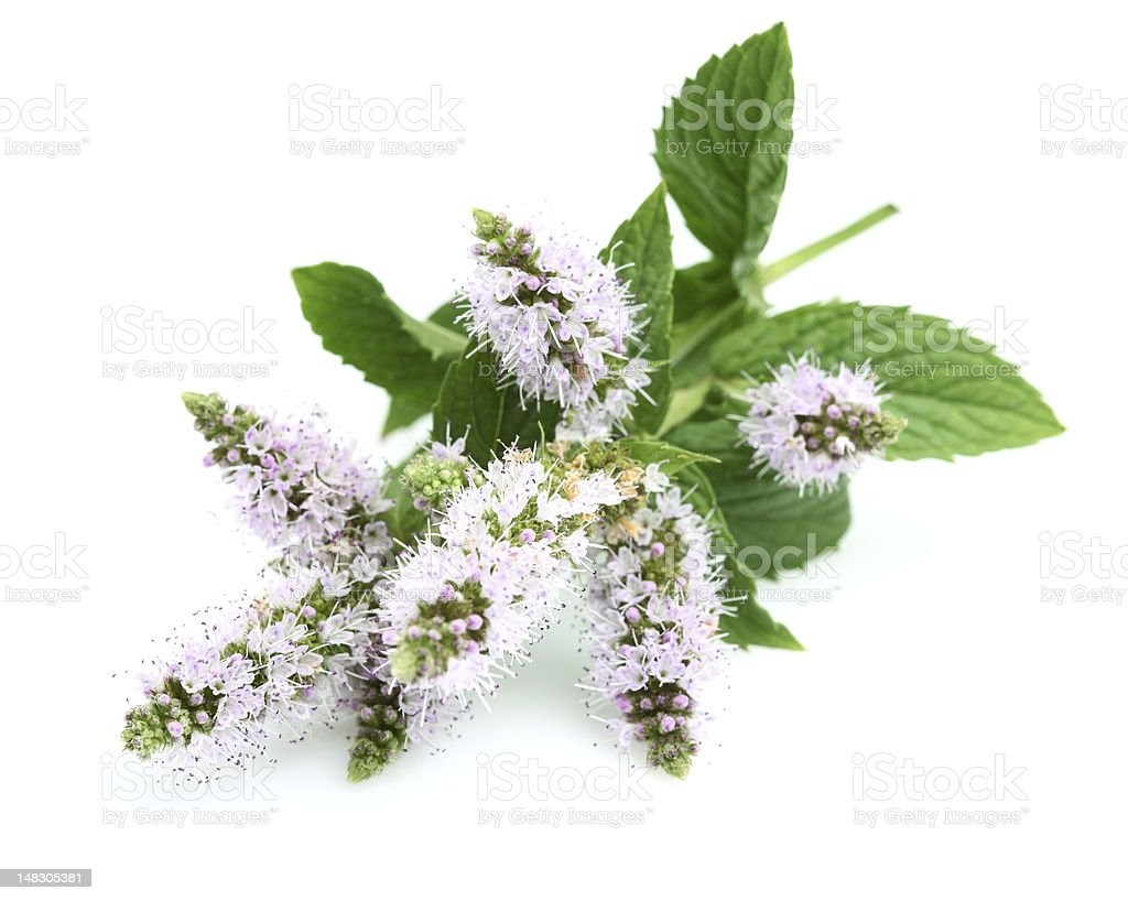 Flowers of mint royalty-free stock photo