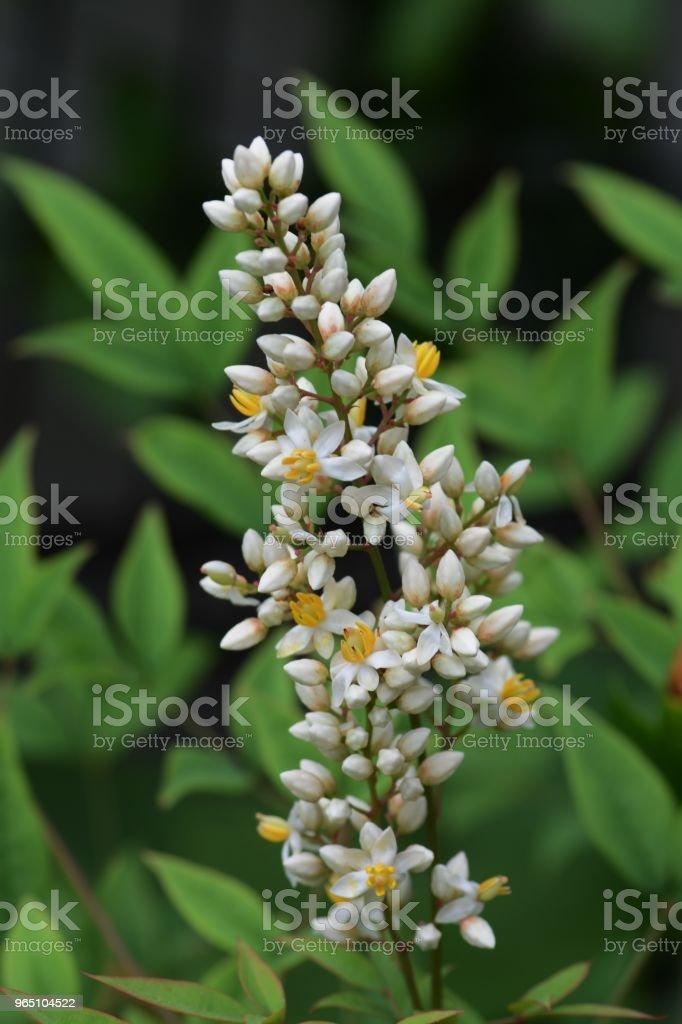 Flowers of Nandina royalty-free stock photo