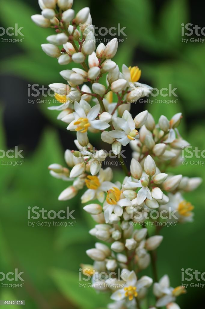 Flowers of Nandina royalty-free stock photo