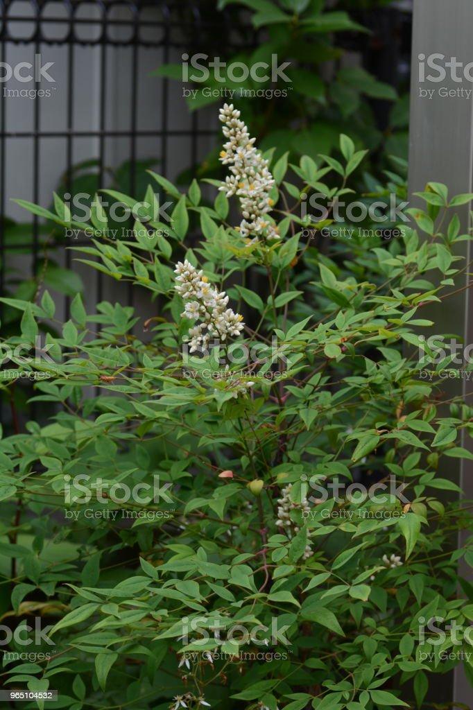Flowers of Nandina zbiór zdjęć royalty-free